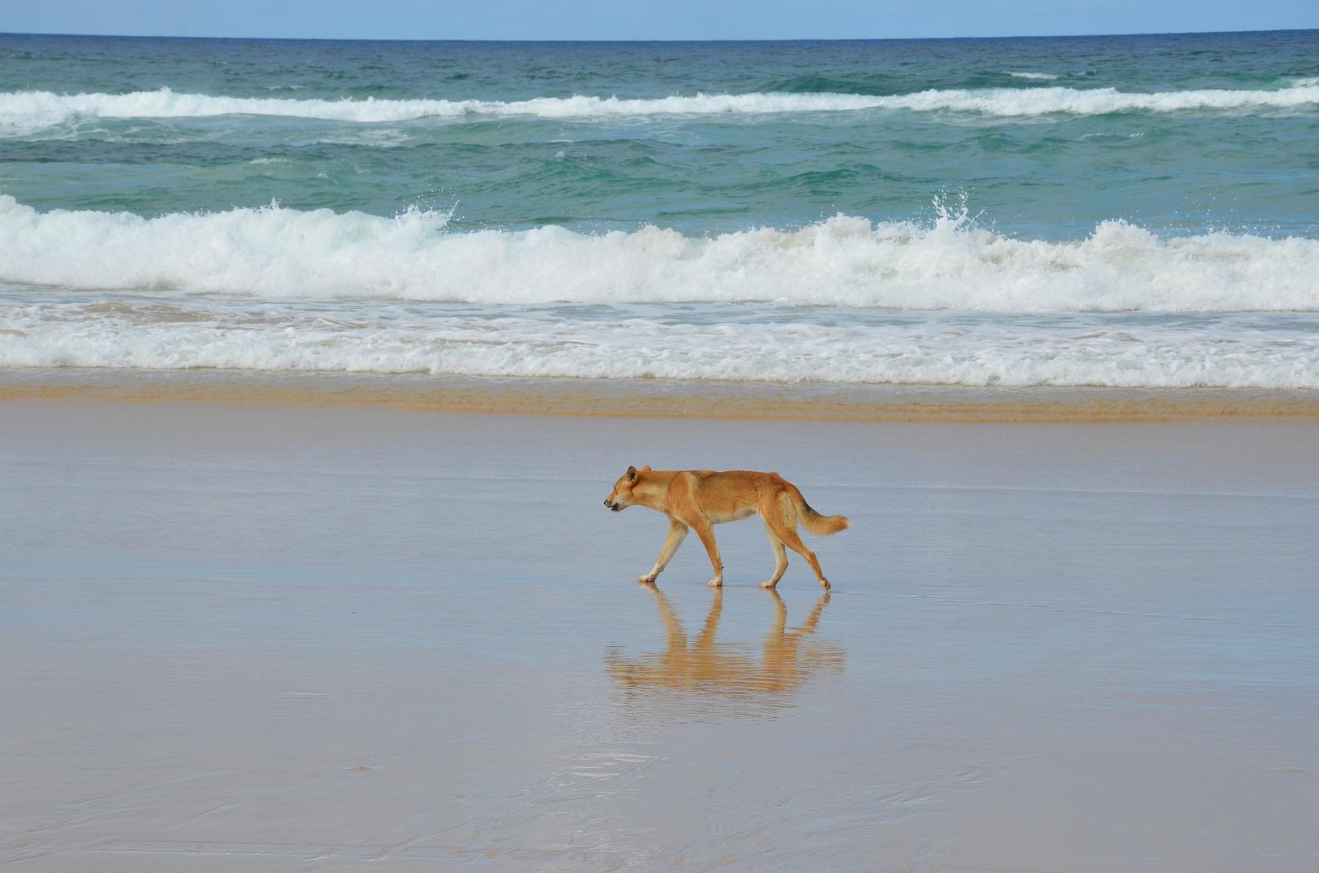 Best Fraser Island Tours Dingo photo